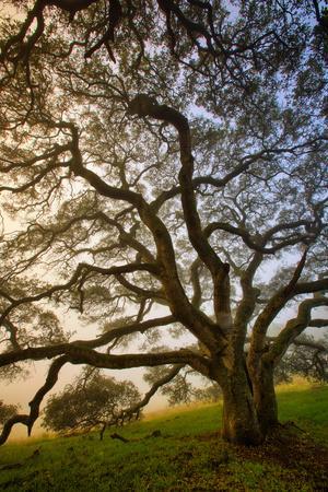 https://imgc.artprintimages.com/img/print/mysterious-winter-oak-petaluma-sonoma-county_u-l-q10dj8a0.jpg?p=0