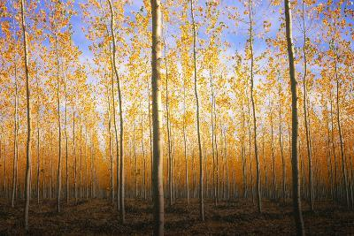 Mystery Trees in Autumn, Boardman Tree Farm, Oregon-Vincent James-Photographic Print