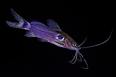 Mystus Micracanthus (Twospot Catfish)-Paul Starosta-Photographic Print
