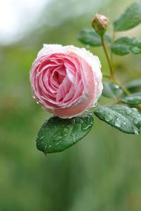 Rose 'Geoff Hamilton' by myu-myu