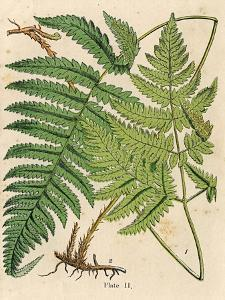 Botanical Ferns I by N. Harbick