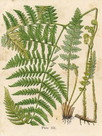 Botanical Ferns II by N. Harbick