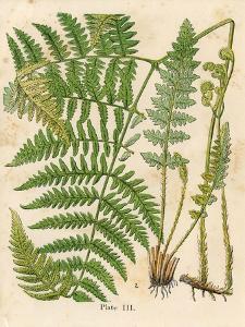 Botanical Ferns II by N^ Harbick