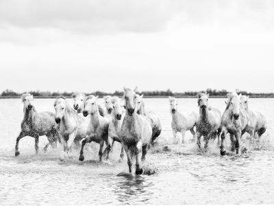 Camargue White Horses Galloping Through Water, Camargue, France