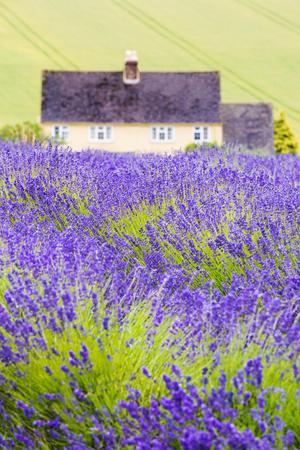 Lavender Fields, Cotswolds, Worcestershire, England, UK