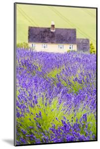 Lavender Fields, Cotswolds, Worcestershire, England, UK by Nadia Isakova