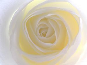 Rose by Nadia Isakova