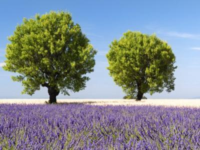 Two Trees in a Lavender Field, Provence, France