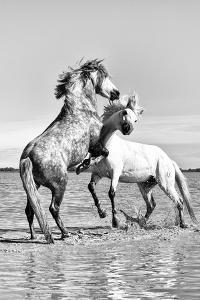 White Horses of Camargue Fighting in the Water, Camargue, France by Nadia Isakova