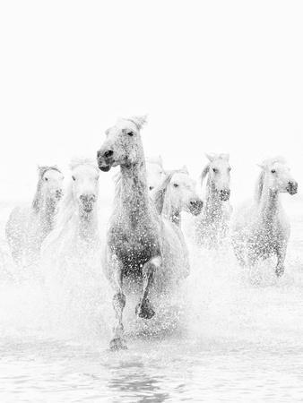 White Horses of Camargue Running Through the Water, Camargue, France