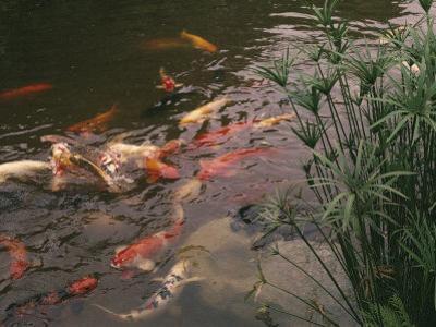 Koi Fish Feed at the Morikami Museum and Japanese Gardens by Nadia M^ B^ Hughes