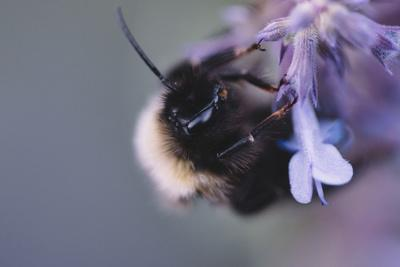 Bumblebees and bees at the work,