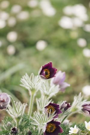 common pasque flower, Pulsatilla vulgaris