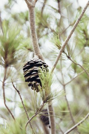 Pine trees and cones