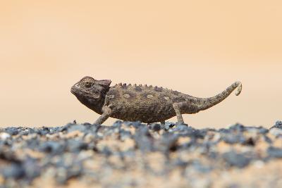 Namaqua Chameleon Hunting in the Namib Desert-Micha Klootwijk-Photographic Print
