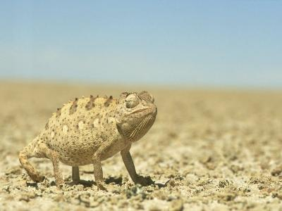 Namaqua Chameleon, Namib Desert, Nambia-Tim Jackson-Photographic Print