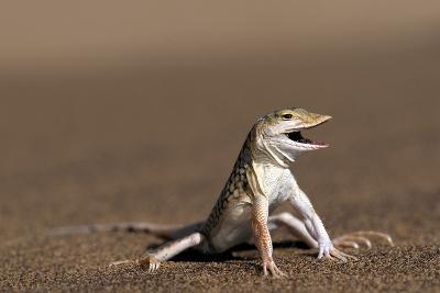 Namib Sand-diving Lizard-Tony Camacho-Photographic Print