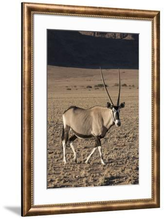 Namibia. A pregnant female Oryx walks while cautiously watching observers.-Brenda Tharp-Framed Photographic Print