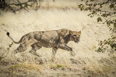 Namibia, Damaraland, Palwag Concession. Stalking Lion Stalking-Wendy Kaveney-Photographic Print