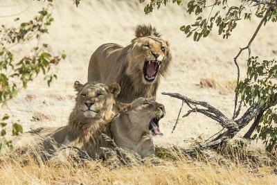 Namibia, Damaraland, Palwag Concession. Three Lions Resting-Wendy Kaveney-Photographic Print