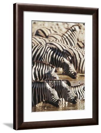 Namibia, Etosha National Park, Burchells Zebras Drinking from River-Stuart Westmorland-Framed Photographic Print