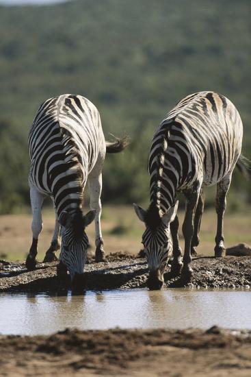 Namibia, Etosha National Park, Plains Zebra Drinking at Waterhole-Paul Souders-Photographic Print