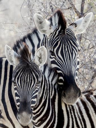 https://imgc.artprintimages.com/img/print/namibia-etosha-national-park-portrait-of-two-zebras_u-l-pyonvo0.jpg?p=0