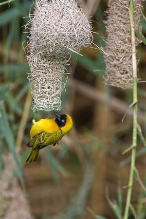 https://imgc.artprintimages.com/img/print/namibia-kaokoveld-conservation-area-male-masked-weaver-building-a-nest_u-l-q1d3eqp0.jpg?p=0