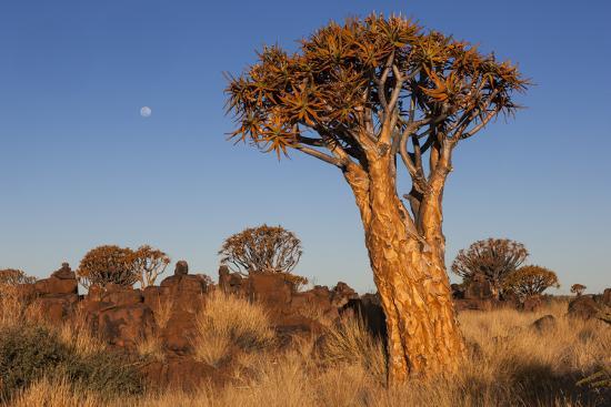 Namibia, Keetmanshoop, Quiver Tree Forest, Kokerboom.-Ellen Goff-Photographic Print