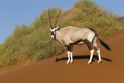 https://imgc.artprintimages.com/img/print/namibia-namib-naukluft-national-park-sossusvlei-an-oryx-standing-on-red-sand_u-l-q1d3hxy0.jpg?p=0