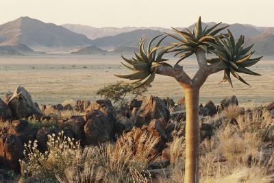 Namibia, Naukluft National Park, Quiver Tree, Aloe, Kokerboom-Stuart Westmorland-Photographic Print