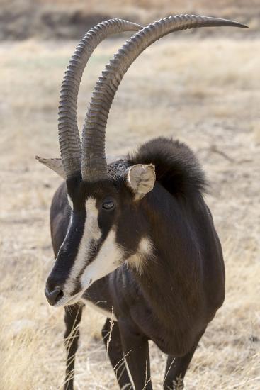 Namibia, Windhoek, Okapuka Ranch. Close-up of Sable Antelope-Wendy Kaveney-Photographic Print
