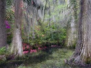 Azaleas and Cypress Trees in Magnolia Gardens, South Carolina, USA by Nancy Rotenberg