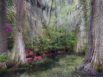 Azaleas and Cypress Trees in Magnolia Gardens, South Carolina, USA