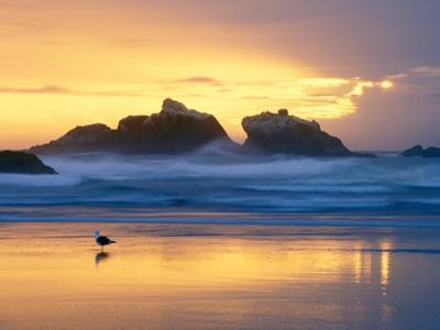 Beach at Sunset with Sea Stacks and Gull, Bandon, Oregon, USA