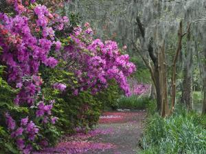 Blooming Azaleas on Middleton Plantation, South Carolina, USA by Nancy Rotenberg