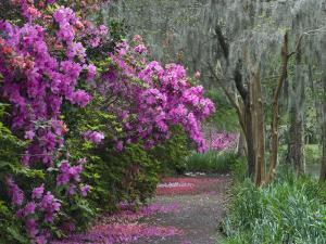 Blooming Azaleas on Middleton Plantation, South Carolina, USA by Nancy Rotenberg