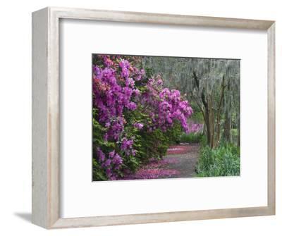 Blooming Azaleas on Middleton Plantation, South Carolina, USA