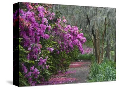 Blooming Azaleas on Middleton Plantation, South Carolina, USA