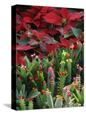 Christmas Poinsettias with Flowering Cactus in Market, San Miguel De Allende, Mexico