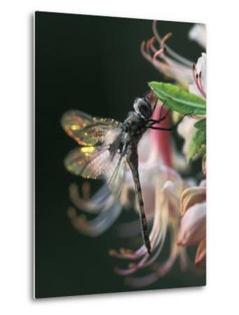 Close-up of Dragonfly Backlit on Azalea, Georgia, USA