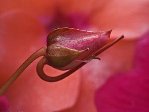 Close-Up of Ose Bud With Dew by Nancy Rotenberg