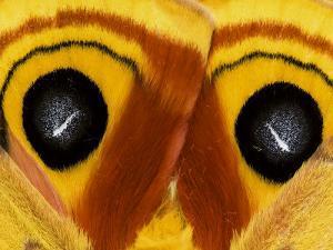 Close-Up of Saturnia Moth Wings, Pennsylvania, USA by Nancy Rotenberg