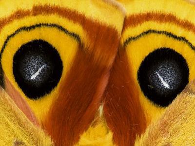 Close-Up of Saturnia Moth Wings, Pennsylvania, USA