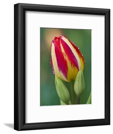 Close-Up of Single Tulip Flower with Buds, Ohio, USA