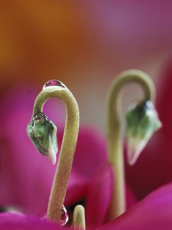 Cyclamen with Water Drop, Pennsylvania, USA