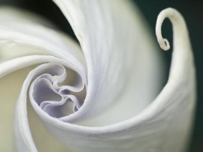 Datura Flower Close-Up, Pennsylvania, USA