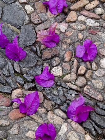 Fallen Bougainvillea Petals on Cobblestones, San Miguel De Allende, Mexico