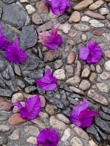 Fallen Bougainvillea Petals on Cobblestones, San Miguel De Allende, Mexico by Nancy Rotenberg