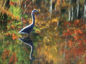 Great Blue Heron in Fall Reflection, Adirondacks, New York, USA by Nancy Rotenberg